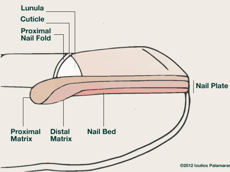 Nail Problems Ioulios Palamaras Md Phd
